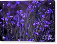 Purple Wildflowers In A Field Acrylic Print