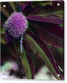 Purple Wonder Acrylic Print