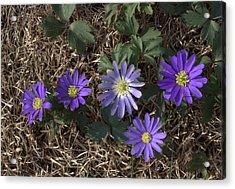 Purple Yard Flowers Acrylic Print by Liz Allyn