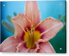 Purring Tiger - Lily Acrylic Print by Michael Wilcox