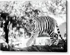 Pursuing Greatness - Bw Acrylic Print