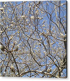 Pussy Willow March Nineteenth Acrylic Print by Roger Swezey