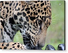 Jaguar And Toy Acrylic Print