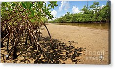 Putting Down Roots - Mangrove Coast In South Florida Acrylic Print