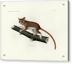 Acrylic Print featuring the drawing Pygmy Mouse Lemur by Hugo Troschel