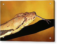 Python Acrylic Print