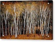 Quabbin Birches Acrylic Print by Richard Danek