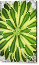 Quadricolor Agave Plant Acrylic Print