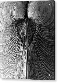 Quahog Closeup No.1 Acrylic Print by Henry Krauzyk