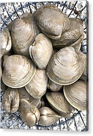 Quahogs Acrylic Print by Charles Harden