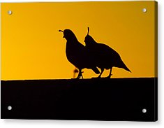 Quail At Sunset Acrylic Print