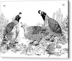 Quail Family Reunion Acrylic Print