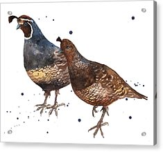 Quail Painting Acrylic Print by Alison Fennell