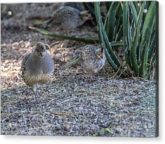 Quail Parent And Chick 0417 Acrylic Print by Tam Ryan