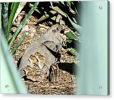 Quail Parent And Chicks 0081-051917 Acrylic Print by Tam Ryan