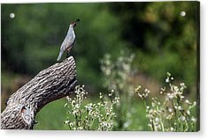 Quail Watching Acrylic Print by Tam Ryan