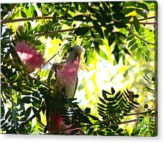 Quaker Parrot With Mimosa Flower Acrylic Print by Theresa Willingham