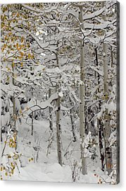 Quakies In Early Winter Acrylic Print