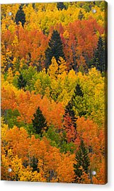 Quaking Aspen And Ponderosa Pine Trees Acrylic Print by Ralph Lee Hopkins