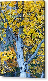 Acrylic Print featuring the photograph Quaking Aspen by Gary Lengyel
