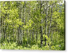 Quaking Aspens 2 Acrylic Print by Cynthia Powell