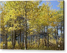 Acrylic Print featuring the photograph Quaking Aspens by Cynthia Powell