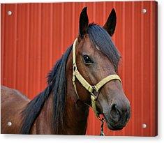 Quarter Horse Acrylic Print by Sandy Keeton