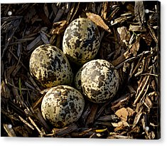 Quartet Of Killdeer Eggs By Jean Noren Acrylic Print by Jean Noren