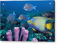 Queen Angelfish And Blue Tangs Acrylic Print