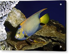 Queen Angelfish Acrylic Print by Sally Weigand