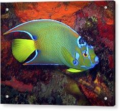 Queen Angelfish, U. S. Virgin Islands 2 Acrylic Print
