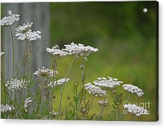 Queen Anne Lace Wildflowers Acrylic Print by Maria Urso