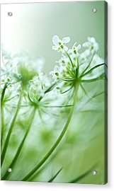 Acrylic Print featuring the photograph Queen Anne's Lace by Jane Melgaard