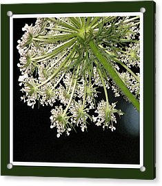 Queen Anne's Umbrella Acrylic Print by Ginger Howland