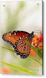 Queen Butterfly Acrylic Print by Ana V Ramirez