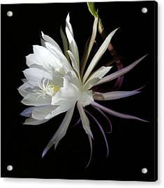 Queen Of The Night Acrylic Print by Robin Street-Morris