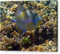 Queen Triggerfish Acrylic Print