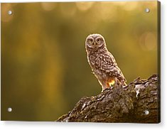 Qui, Moi? Little Owlet In Warm Light Acrylic Print by Roeselien Raimond