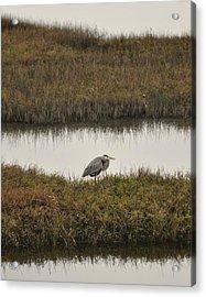 Quiet Heron Acrylic Print