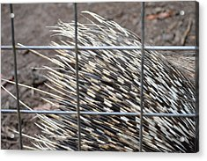 Quills Of An African Porcupine Acrylic Print by Linda Geiger