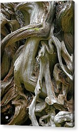 Quinault Valley Olympic Peninsula Wa - Exposed Root Structure Of A Giant Tree Acrylic Print by Christine Till