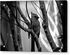 Quite Bird In The Tree Acrylic Print