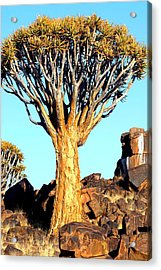 Acrylic Print featuring the photograph Quiver Tree In Namibia by Riana Van Staden