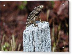 Rabida Lava Lizard Acrylic Print by Harry Strharsky