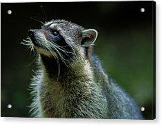 Raccoon 1 Acrylic Print