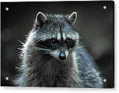 Raccoon 2 Acrylic Print