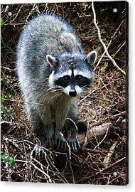 Raccoon  Acrylic Print by Anthony Jones