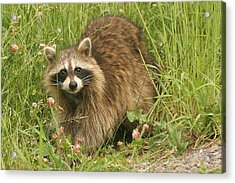 Acrylic Print featuring the photograph Raccoon  by Doris Potter