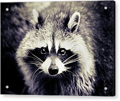 Raccoon Looking At Camera Acrylic Print by Isabelle Lafrance Photography