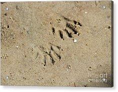 Raccoon Tracks In The Sand Acrylic Print